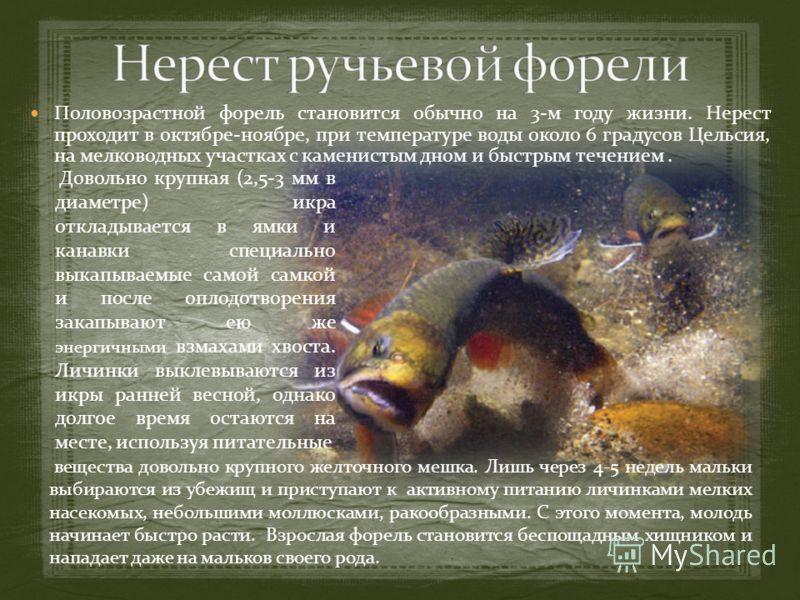 Половозрастной форель становится обычно на 3-м году жизни. Нерест проходит в октябре-ноябре, при температуре воды около 6 градусов Цельсия, на мелководных участках с каменистым дном и быстрым течением. вещества довольно крупного желточного мешка. Лиш