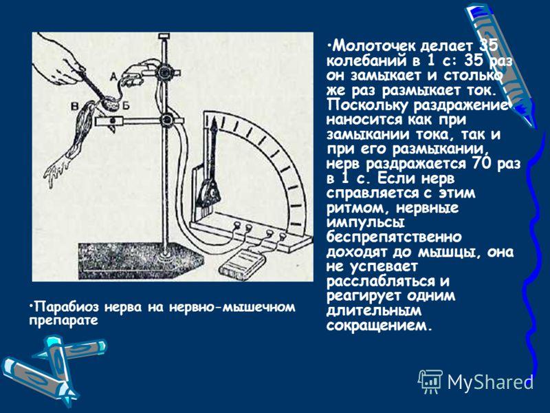 Парабиоз нерва на нервно-мышечном препарате Молоточек делает 35 колебаний в 1 с: 35 раз он замыкает и столько же раз размыкает ток. Поскольку раздражение наносится как при замыкании тока, так и при его размыкании, нерв раздражается 70 раз в 1 с. Если