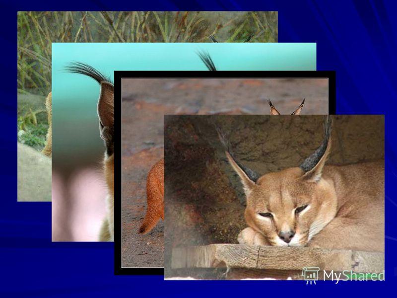 Каракал, известный также как пустынная рысь, берберийская рысь, по внешнему виду действительно похож на рысь, но тело у него более тонкое и хвост более длинный. Тело длиной 65 – 82 см, имеет окраску рыжевато – песчаную с небольшими чёрными отметинами