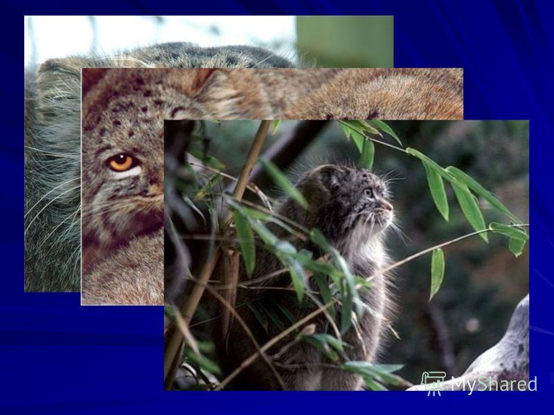 Манул, или палласов кот, - размером с домашнюю кошку, но вид имеет своеобразный и забавный : у него массивное тело на коротких лапах, голова приплюснута с баками на щеках, хвост очень толстый и словно отрубленный, а шерсть необычно густая и длинная.