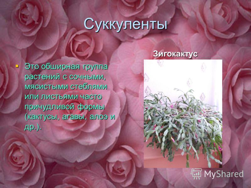 Суккуленты Это обширная группа растений с сочными, мясистыми стеблями или листьями часто причудливой формы (кактусы, агавы, алоэ и др.). Зигокактус