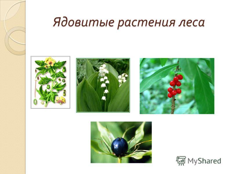Ядовитые растения леса Ядовитые растения леса