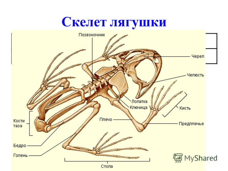 Скелет лягушки ОтделСтроение