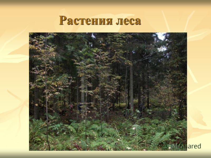 Растения леса Растения леса