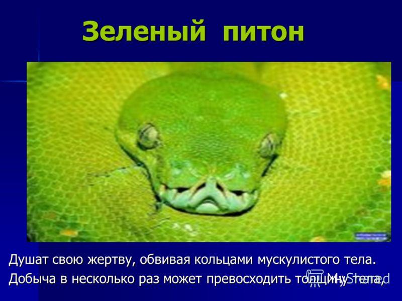Зеленый питон Зеленый питон Душат свою жертву, обвивая кольцами мускулистого тела. Добыча в несколько раз может превосходить толщину тела,