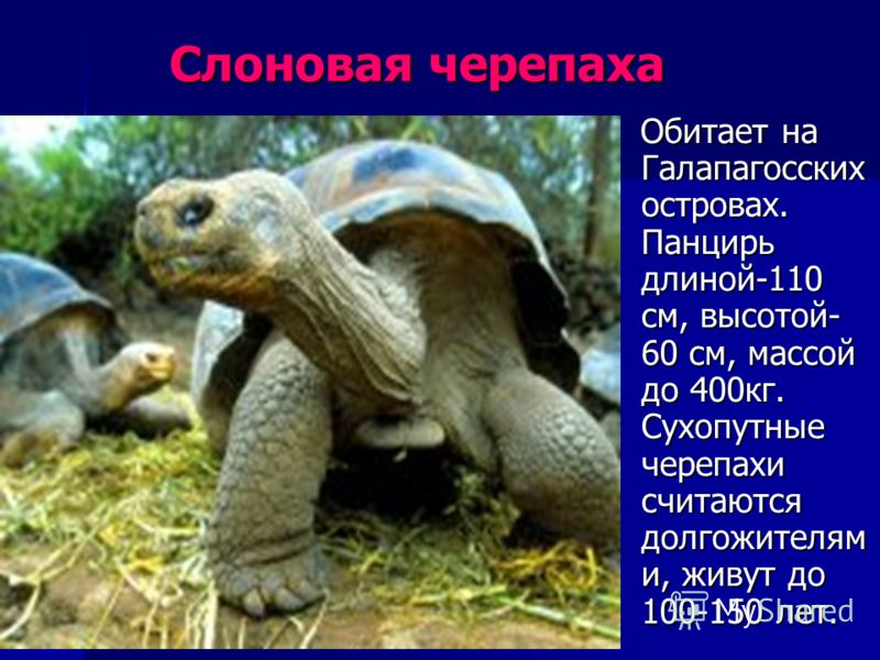Слоновая черепаха Слоновая черепаха Обитает на Галапагосских островах. Панцирь длиной-110 см, высотой- 60 см, массой до 400кг. Сухопутные черепахи считаются долгожителям и, живут до 100-150 лет. Обитает на Галапагосских островах. Панцирь длиной-110 с