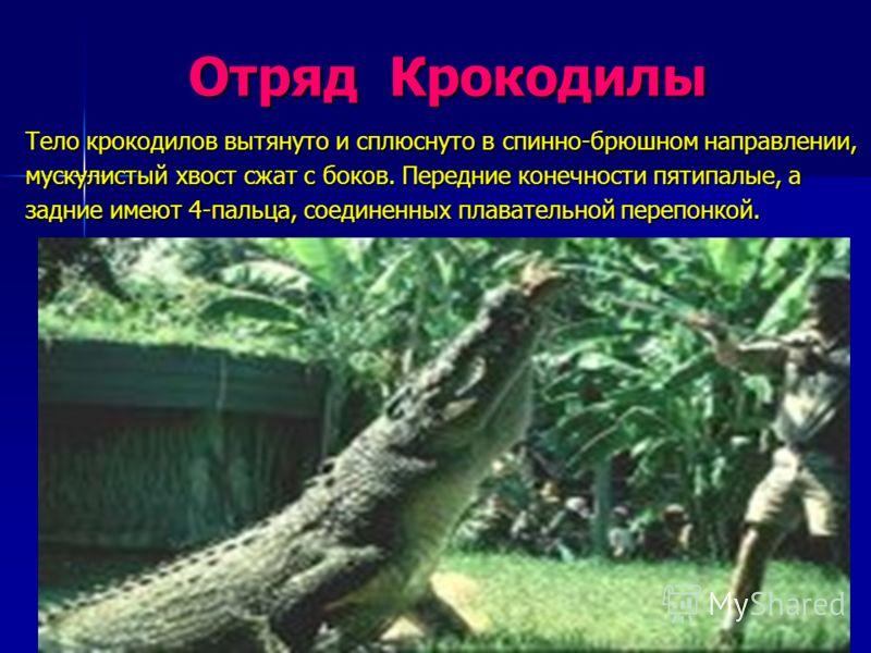 Отряд Крокодилы Отряд Крокодилы Тело крокодилов вытянуто и сплюснуто в спинно-брюшном направлении, мускулистый хвост сжат с боков. Передние конечности пятипалые, а задние имеют 4-пальца, соединенных плавательной перепонкой.