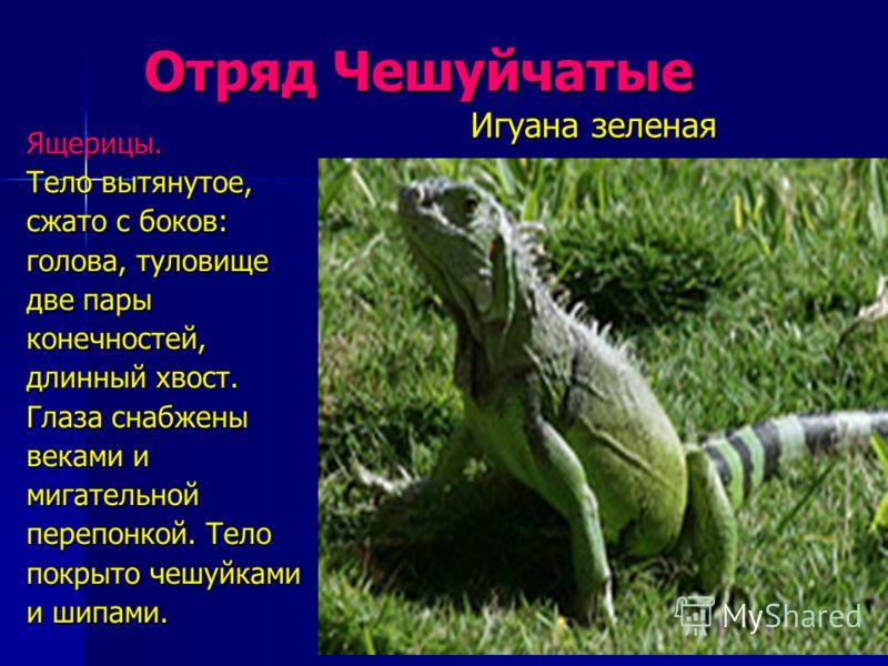 Отряд Чешуйчатые Отряд Чешуйчатые Ящерицы. Тело вытянутое, сжато с боков: голова, туловище две пары конечностей, длинный хвост. Глаза снабжены веками и мигательной перепонкой. Тело покрыто чешуйками и шипами. Игуана зеленая Игуана зеленая