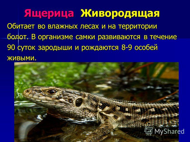 Ящерица Живородящая Обитает во влажных лесах и на территории болот. В организме самки развиваются в течение 90 суток зародыши и рождаются 8-9 особей живыми.