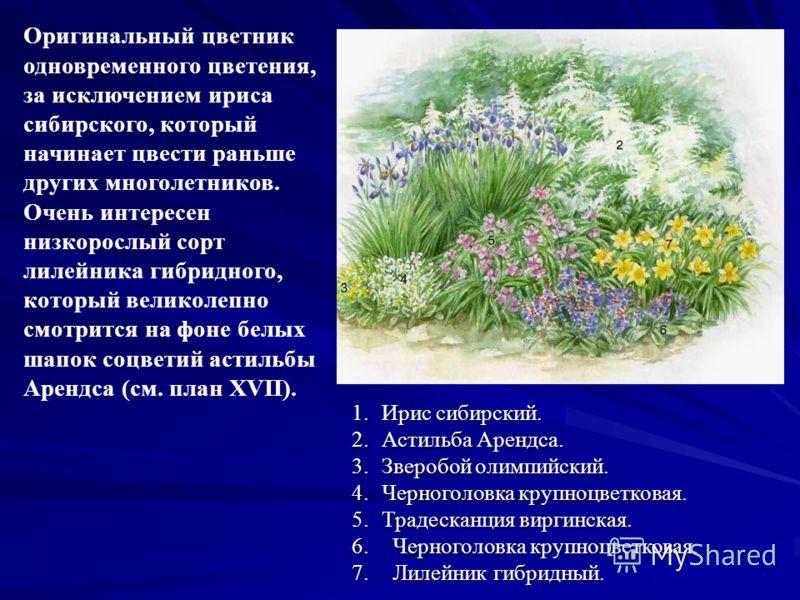 Оригинальный цветник одновременного цветения, за исключением ириса сибирского, который начинает цвести раньше других многолетников. Очень интересен низкорослый сорт лилейника гибридного, который великолепно смотрится на фоне белых шапок соцветий асти
