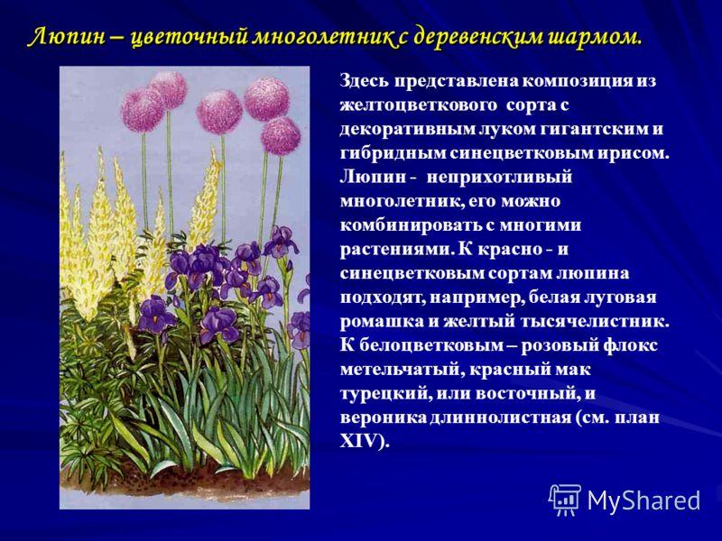 Люпин – цветочный многолетник с деревенским шармом. Здесь представлена композиция из желтоцветкового сорта с декоративным луком гигантским и гибридным синецветковым ирисом. Люпин - неприхотливый многолетник, его можно комбинировать с многими растения