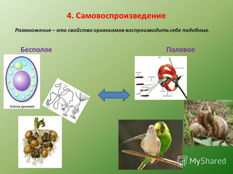 4. Самовоспроизведение Размножение – это свойство организмов воспроизводить себе подобных. БесполоеПоловое