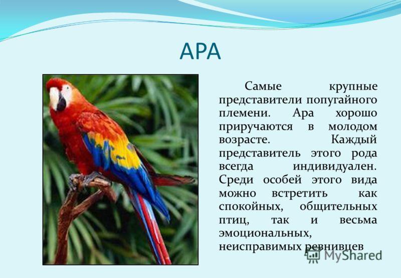 АРА Самые крупные представители попугайного племени. Ара хорошо приручаются в молодом возрасте. Каждый представитель этого рода всегда индивидуален. Среди особей этого вида можно встретить как спокойных, общительных птиц, так и весьма эмоциональных,