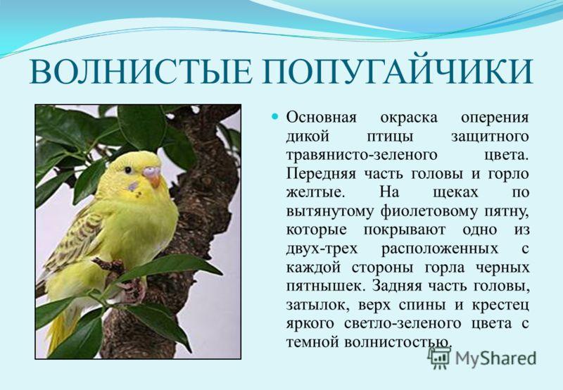 ВОЛНИСТЫЕ ПОПУГАЙЧИКИ Основная окраска оперения дикой птицы защитного травянисто-зеленого цвета. Передняя часть головы и горло желтые. На щеках по вытянутому фиолетовому пятну, которые покрывают одно из двух-трех расположенных с каждой стороны горла