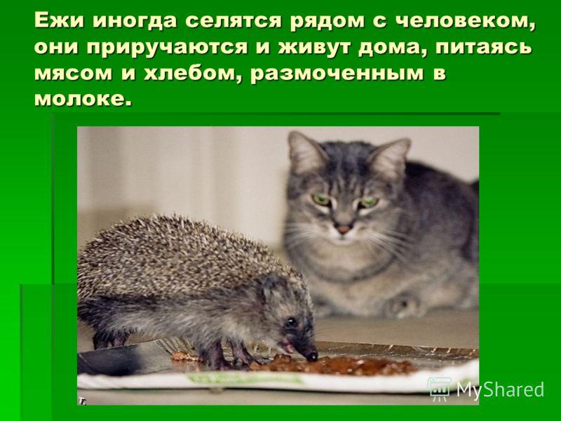 Ежи иногда селятся рядом с человеком, они приручаются и живут дома, питаясь мясом и хлебом, размоченным в молоке.