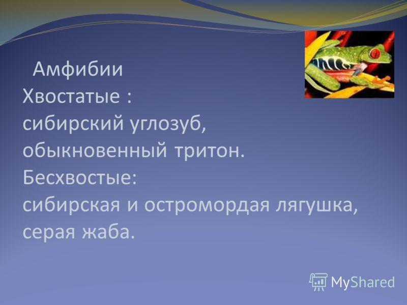 Амфибии Хвостатые : сибирский углозуб, обыкновенный тритон. Бесхвостые: сибирская и остромордая лягушка, серая жаба.