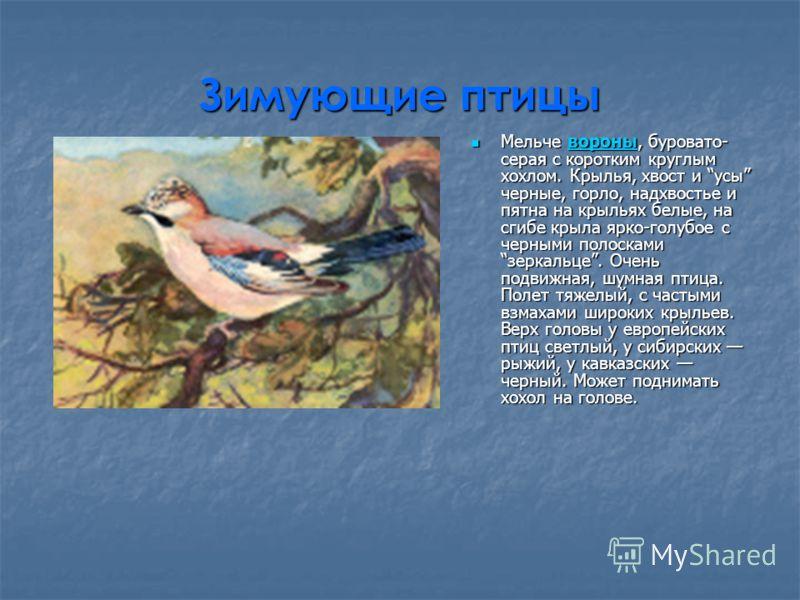 Зимующие птицы Мельче вороны, буровато- серая с коротким круглым хохлом. Крылья, хвост и усы черные, горло, надхвостье и пятна на крыльях белые, на сгибе крыла ярко-голубое с черными полосками зеркальце. Очень подвижная, шумная птица. Полет тяжелый,