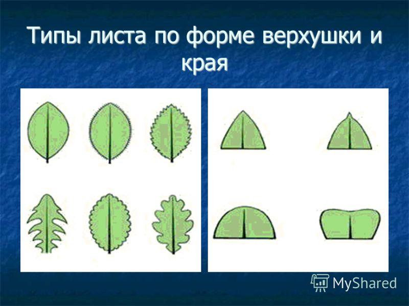 Типы листа по форме верхушки и края