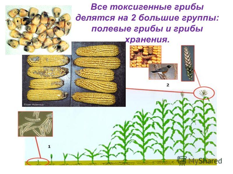 Все токсигенные грибы делятся на 2 большие группы: полевые грибы и грибы хранения.