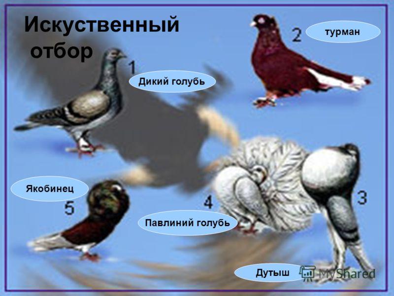 Искуственный отбор Дикий голубь Якобинец Дутыш Павлиний голубь турман