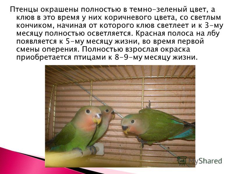 Птенцы окрашены полностью в темно-зеленый цвет, а клюв в это время у них коричневого цвета, со светлым кончиком, начиная от которого клюв светлеет и к 3-му месяцу полностью осветляется. Красная полоса на лбу появляется к 5-му месяцу жизни, во время п
