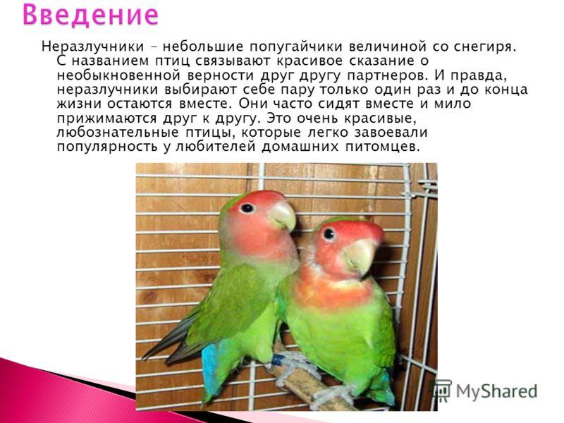 Неразлучники – небольшие попугайчики величиной со снегиря. С названием птиц связывают красивое сказание о необыкновенной верности друг другу партнеров. И правда, неразлучники выбирают себе пару только один раз и до конца жизни остаются вместе. Они ча