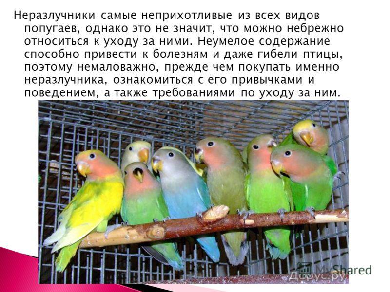 Неразлучники самые неприхотливые из всех видов попугаев, однако это не значит, что можно небрежно относиться к уходу за ними. Неумелое содержание способно привести к болезням и даже гибели птицы, поэтому немаловажно, прежде чем покупать именно неразл