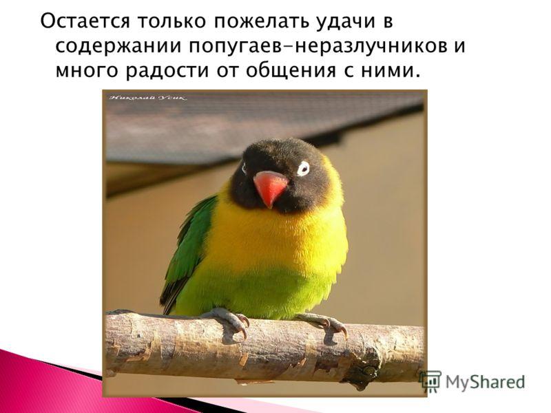Остается только пожелать удачи в содержании попугаев-неразлучников и много радости от общения с ними.