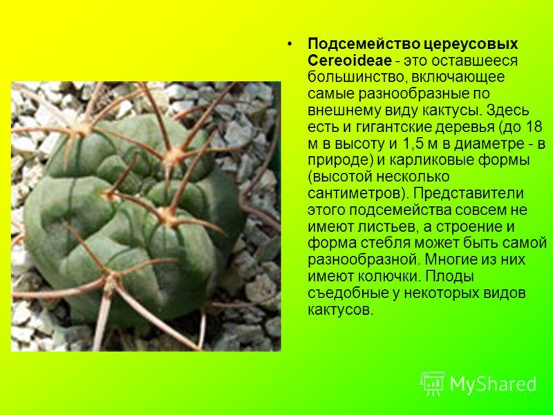 Подсемейство цереусовых Cereoideae - это оставшееся большинство, включающее самые разнообразные по внешнему виду кактусы. Здесь есть и гигантские деревья (до 18 м в высоту и 1,5 м в диаметре - в природе) и карликовые формы (высотой несколько сантимет