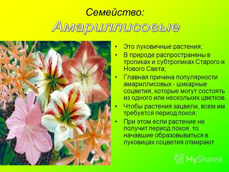 Семейство: Это луковичные растения; В природе распространены в тропиках и субтропиках Старого и Нового Света; Главная причина популярности амариллисовых - шикарные соцветия, которые могут состоять из одного или нескольких цветков. Чтобы растения зацв