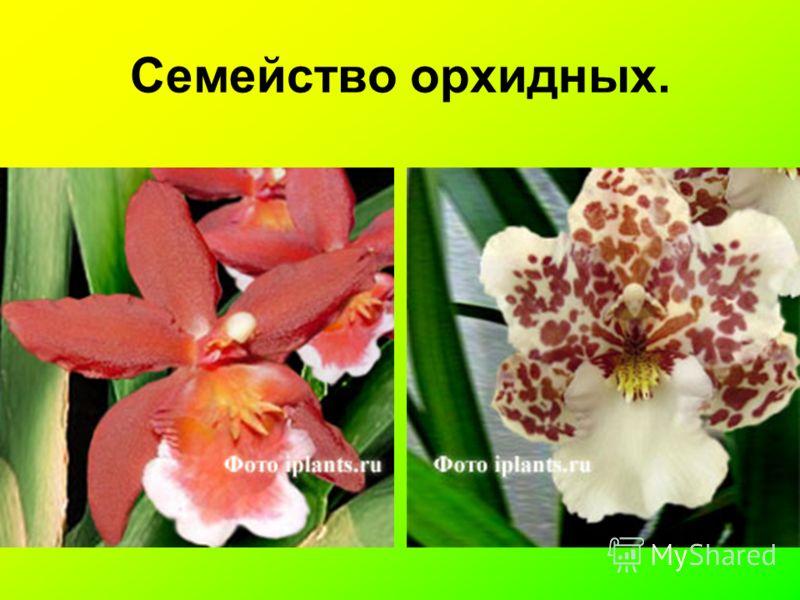 Семейство орхидных.