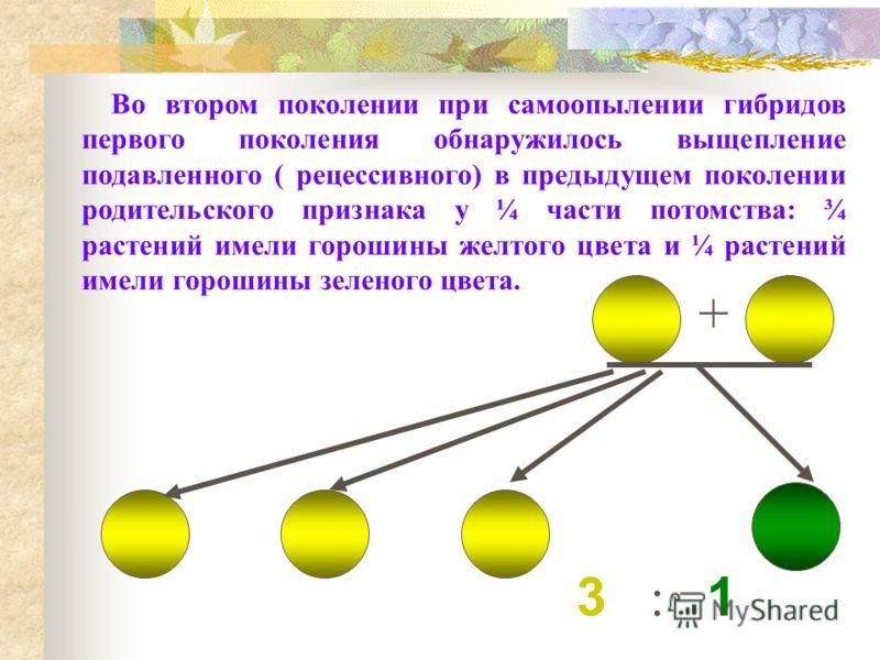3 : 1 + Во втором поколении при самоопылении гибридов первого поколения обнаружилось выщепление подавленного ( рецессивного) в предыдущем поколении родительского признака у ¼ части потомства: ¾ растений имели горошины желтого цвета и ¼ растений имели