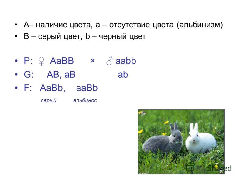 А– наличие цвета, a – отсутствие цвета (альбинизм) B – серый цвет, b – черный цвет Р: АаВВ × ааbb G: АВ, аВ аb F: АаВb, ааВb серый альбинос