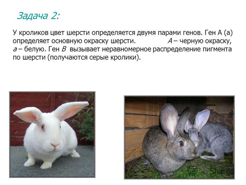 Задача 2: У кроликов цвет шерсти определяется двумя парами генов. Ген А (а) определяет основную окраску шерсти. А – черную окраску, а – белую. Ген В вызывает неравномерное распределение пигмента по шерсти (получаются серые кролики).
