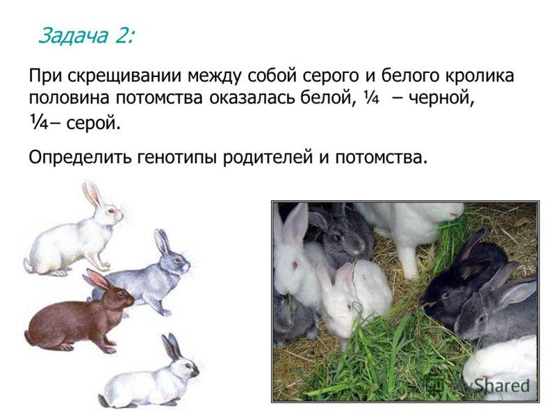 Задача 2: При скрещивании между собой серого и белого кролика половина потомства оказалась белой, ¼ – черной, ¼ – серой. Определить генотипы родителей и потомства.