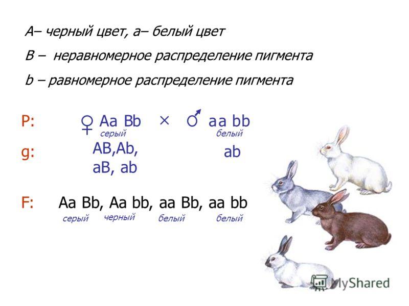 а b Аа Вb, Аа bb, аа Вb, аа bb А В А– черный цвет, a– белый цвет B – неравномерное распределение пигмента b – равномерное распределение пигмента Р: g:g: АВ,Аb, аВ, аb F:F: серыйбелый аb серый черный белый