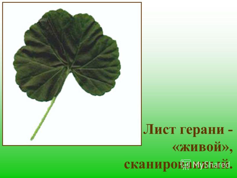 Лист герани - «живой», сканированный.