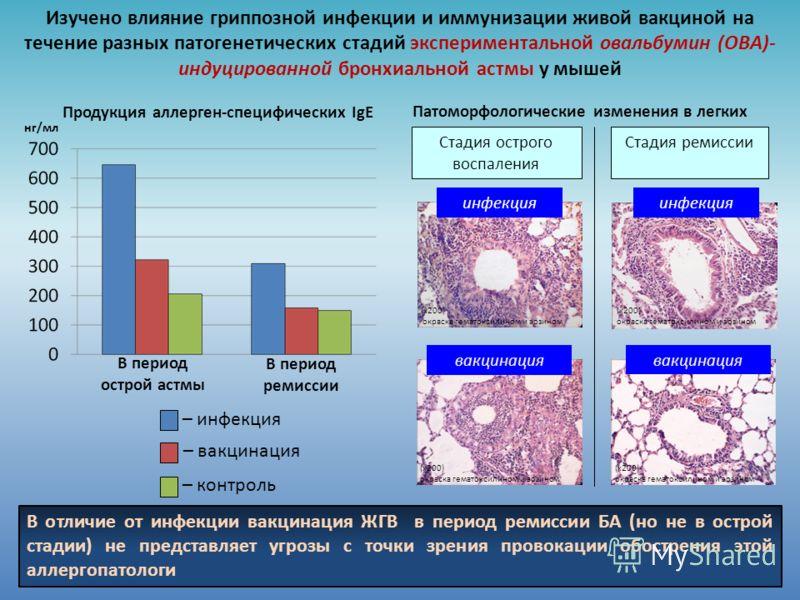 Продукция аллерген-специфических IgE нг/мл В период острой астмы В период ремиссии Изучено влияние гриппозной инфекции и иммунизации живой вакциной на течение разных патогенетических стадий экспериментальной овальбумин (ОВА)- индуцированной бронхиаль
