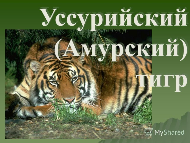 Уссурийский (Амурский) тигр Уссурийский (Амурский) тигр