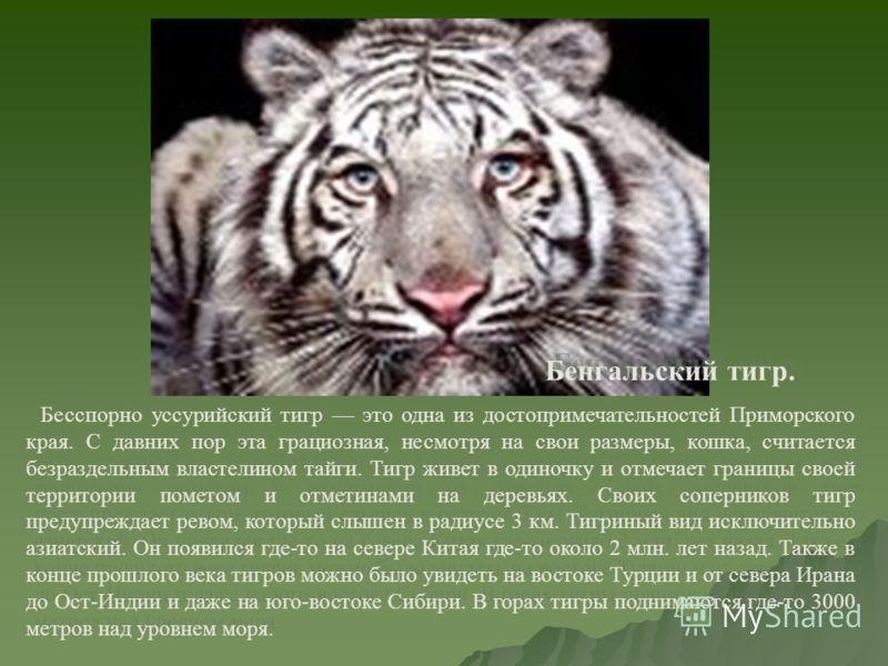 Бенгальский тигр. Бесспорно уссурийский тигр это одна из достопримечательностей Приморского края. С давних пор эта грациозная, несмотря на свои размеры, кошка, считается безраздельным властелином тайги. Тигр живет в одиночку и отмечает границы своей