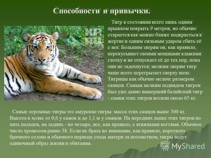 Способности и привычки. Тигр в состоянии всего лишь одним прыжком покрыть 9 метров, но обычно старается как можно ближе подкрасться к жертве и одним сильным ударом сбить её с ног. Большим зверям он, как правило, перекусывает своими мощными клыками гл