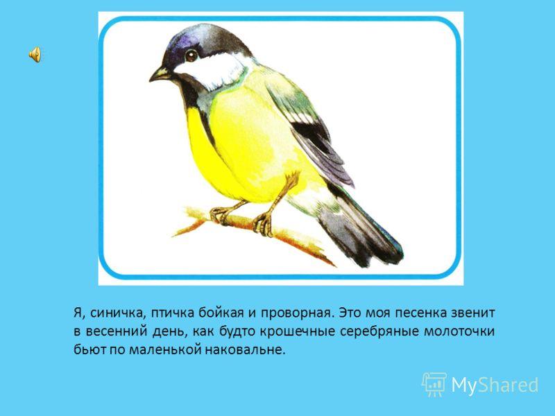 Я, синичка, птичка бойкая и проворная. Это моя песенка звенит в весенний день, как будто крошечные серебряные молоточки бьют по маленькой наковальне.