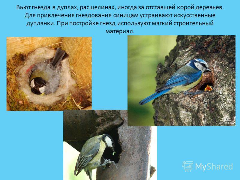 Вьют гнезда в дуплах, расщелинах, иногда за отставшей корой деревьев. Для привлечения гнездования синицам устраивают искусственные дуплянки. При постройке гнезд используют мягкий строительный материал.