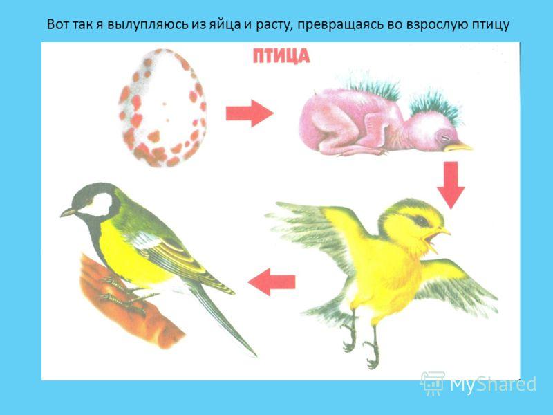 Вот так я вылупляюсь из яйца и расту, превращаясь во взрослую птицу