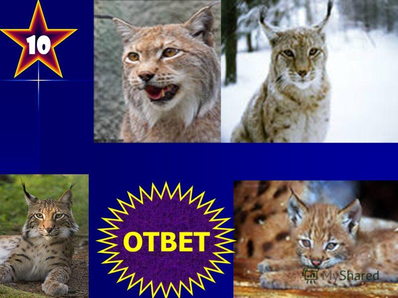 10 Вид млекопитающих. Название скорее всего связано с праславянским корнем lysь, в котором под влиянием другого праславянского корня *** (со значением «рыжий, пятнистый») появилось вторичное «r». ОТВЕТ