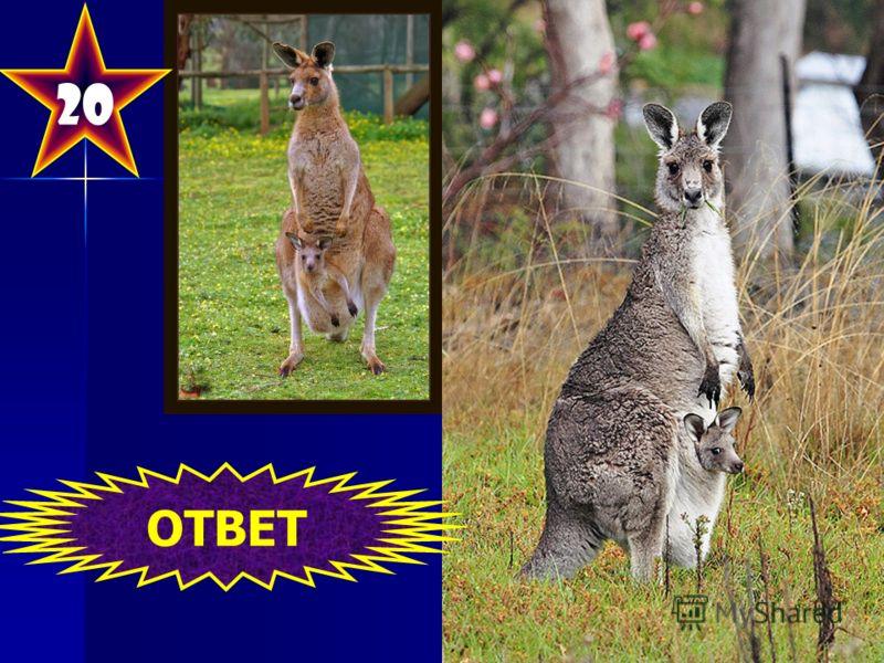 Группа сумчатых млекопитающих. Представители этой группы распространены в Австралии, Новой Гвинее и близлежащих островах. Впервые описаны Джеймсом Куком, который в апреле 1770 года подошёл к восточному берегу Австралии. По распространённой легенде на