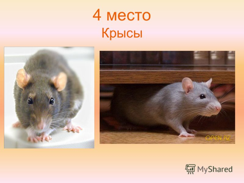 4 место Крысы