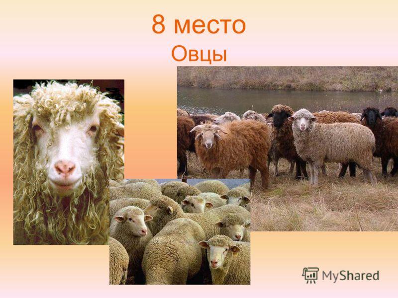 8 место Овцы