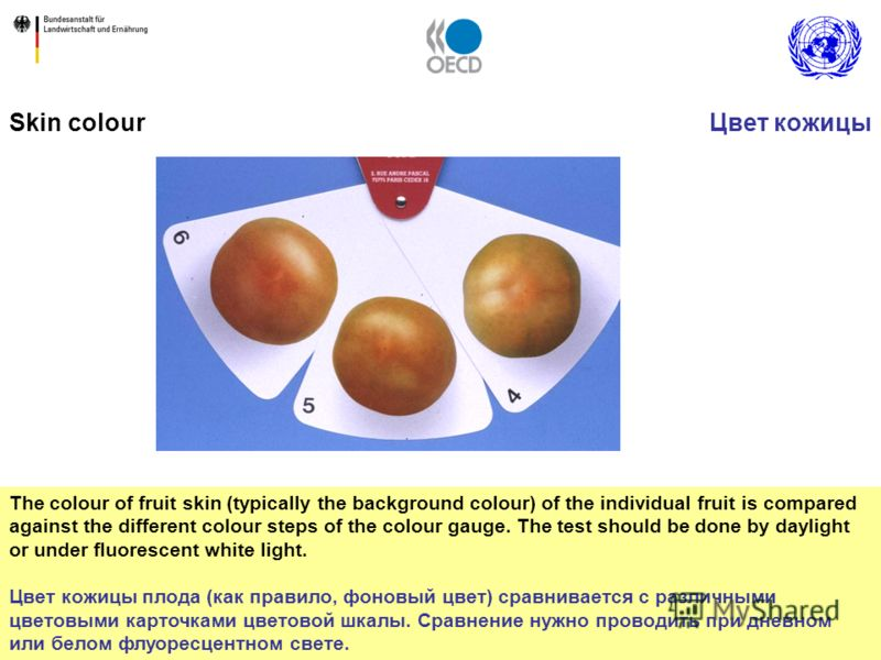 42 The colour of fruit skin (typically the background colour) of the individual fruit is compared against the different colour steps of the colour gauge. The test should be done by daylight or under fluorescent white light. Цвет кожицы плода (как пра