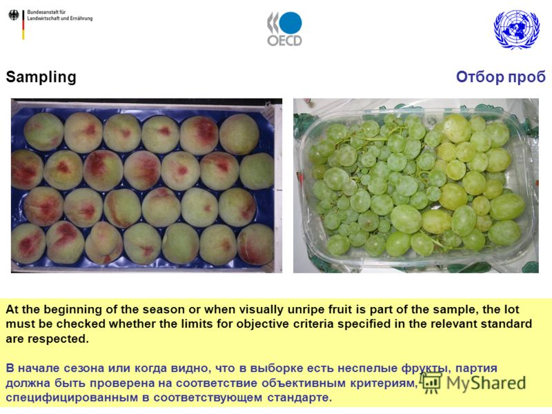 5 Sampling At the beginning of the season or when visually unripe fruit is part of the sample, the lot must be checked whether the limits for objective criteria specified in the relevant standard are respected. В начале сезона или когда видно, что в